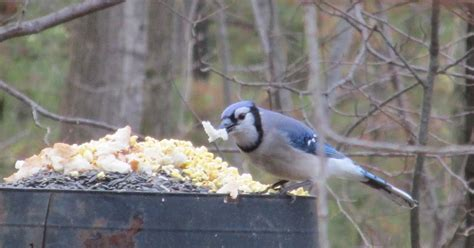 grandma pearl s backporch blue jays eating bread
