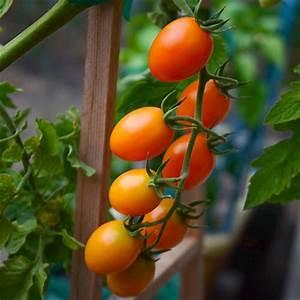 Grape Tomato Plants - Plant-Matthew Tomato