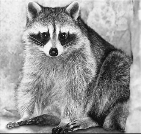 raccoon drawings  formats