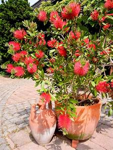 Pflanze Mit Roten Blüten : flaschenputzer callistemon citrinus ~ Eleganceandgraceweddings.com Haus und Dekorationen