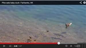 Northern Pike Attack: School of Ducks - Montana Hunting ...