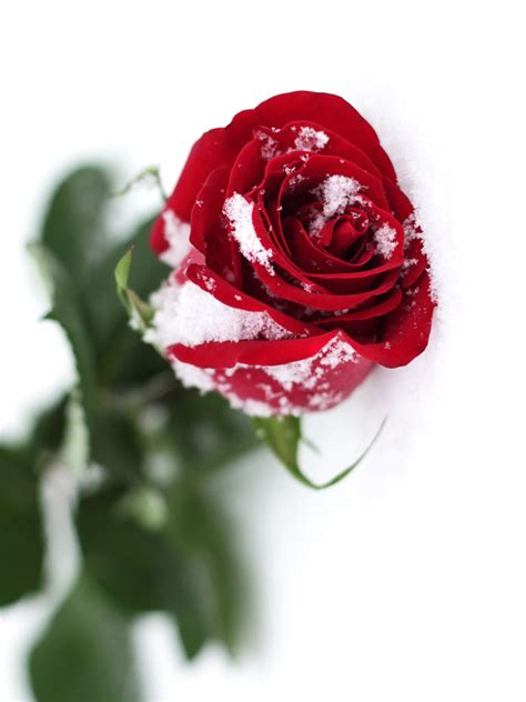red rose  snow effect