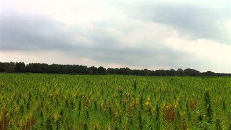 Riesen Hanffeld , Cannabis Plantage In Deutschland