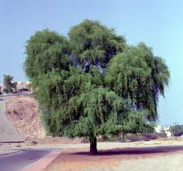 ghaf tree all about plant