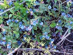 Wild Blueberry Bushes
