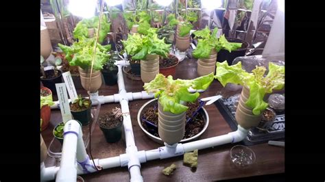 Hydroponic Vs. Soil Grown Lettuce.-youtube