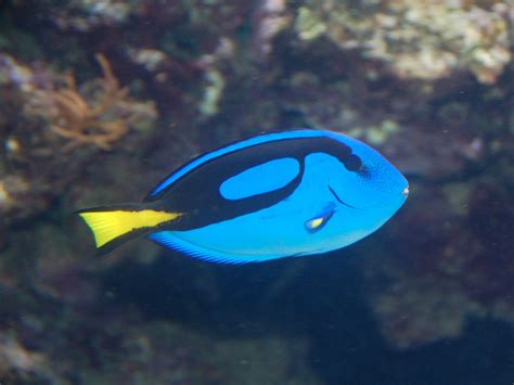 The Online Zoo - Pacific Blue Tang