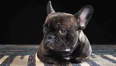 french bulldog names   ideas  inspire
