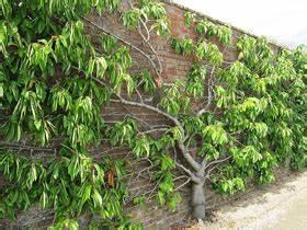 Spalierobst Hier Ein Kirschbaum In England