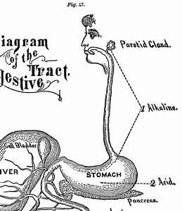 Vintage Digestion Diagram