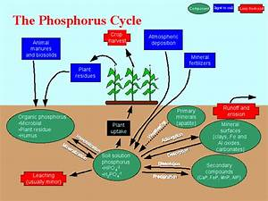 Where Does The Phosphorus Cycle Start And End