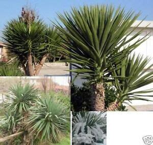 yucca palme winterhart tolle yucca palme mit imposantem stamm yucca aloifolia winterhart samen ebay