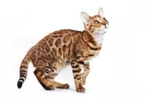 how big do bengal cats get how big do bengal cats get
