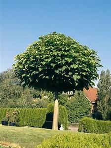 Baum Kleiner Garten : kugel trompetenbaum garten ~ Orissabook.com Haus und Dekorationen
