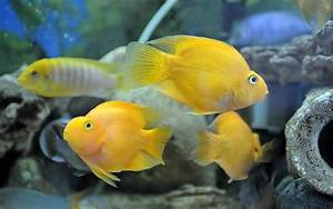 Blood Parrot Cichlid backgrounds Wallpaper | High Quality ...