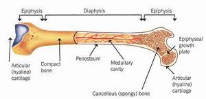 Long Bone  Human Skeletal System  Epiphyseal Plate