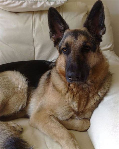 german shepherd rescue ideas  pinterest