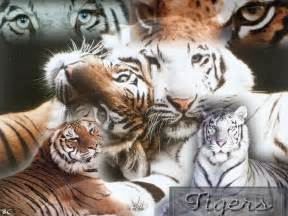 big cats for big cats images cat wallpaper hd wallpaper and background