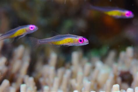 Dwarf Gobies A Small Species Of Goby Bryaninops Natans