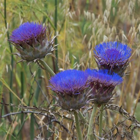 Pflanzen Im Oktober by Artischocken Bl 252 Ten Blumen Im Oktober B 228 Ume Und Blumen