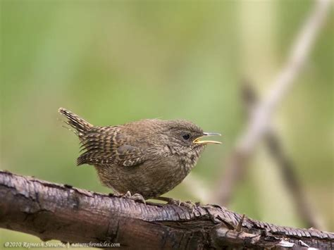 nature chronicles feather winter wren