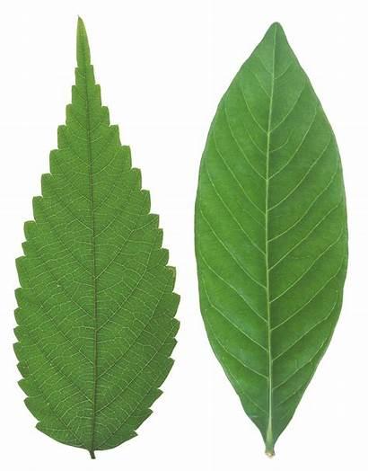 Leaf Leaves Elm Clipart Different Feuilles Transparent