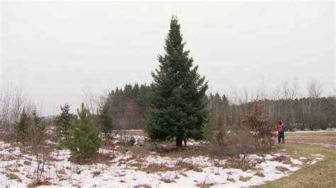 30 foot christmas tree harvested for governor s residence