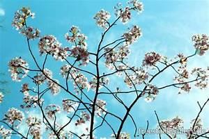 Baum Mit Weißen Blüten : wei e bl ten am baum mit t rkisen himmel gratis foto zum ~ Michelbontemps.com Haus und Dekorationen