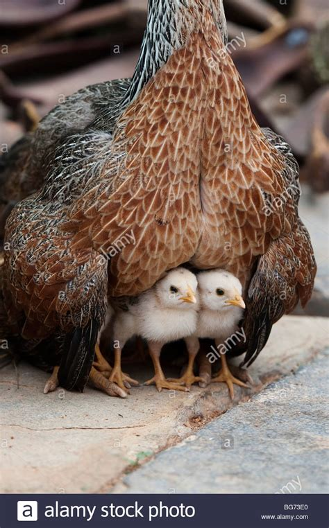 mother hen protecting  chicks  india stock photo alamy