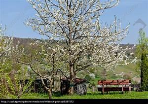 Baum Mit Blüten : baum obstbaum kirschbaum mit wei en bl ten auf einer lizenzfreies foto 9291512 ~ Frokenaadalensverden.com Haus und Dekorationen