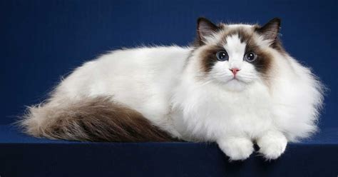 are ragamese cats hypoallergenic