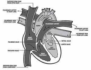 Heart Diagram  U2013 15  Free Printable Word  Excel  Eps  Psd Template Download