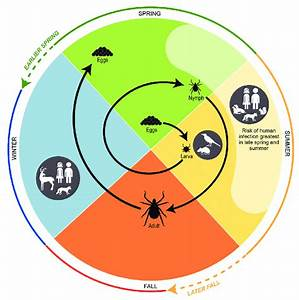 Figure Depicts The Life Cycle Of Blacklegged Ticks