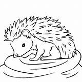 Hedgehog Coloring Drawing Outline Animal Line Animals Thecolor Clipart Da Colorare Sheets Colors Hedgehogs Children Cliparts Disegni Animali Con Craft sketch template