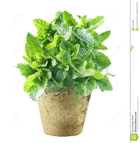 menthe fra 238 che s 233 levant dans un pot de fleurs images libres de droits image 31644489