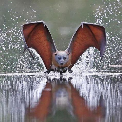 volpi volanti volpi volanti pteropus scheda completa animali