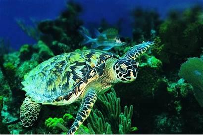 Sea Turtles Wallpapers