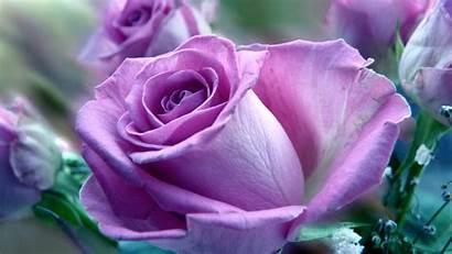 Rose Purple Wallpapers Desktop Bloem Roses Prachtige