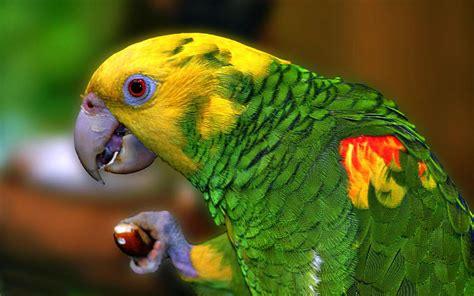 yellow parrot profil hd wallpapers mobile phone laptop pc