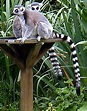 Primate - Simple English Wikipedia, the free encyclopedia