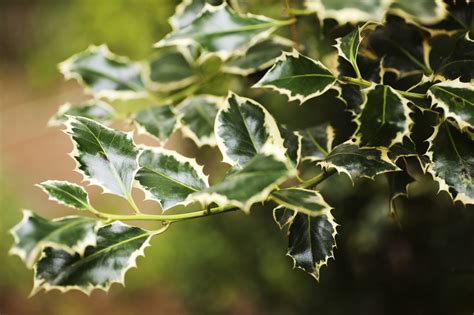how to trim a bush holly pruning find out how to trim a holly bush