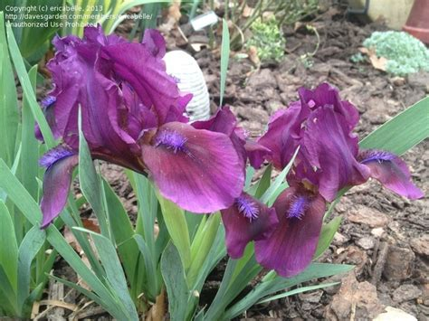 308 best images about bearded iris on