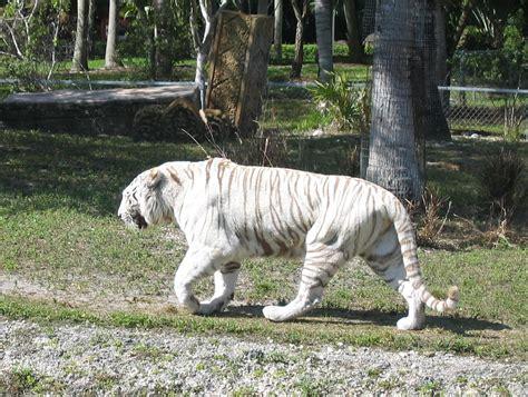 white zoo teck 39 s treehouse white tigers