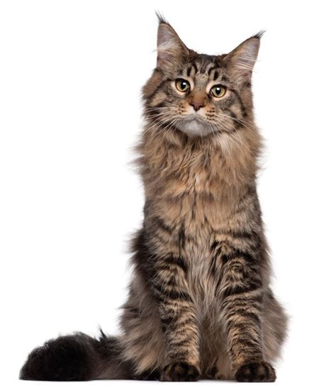 Whos That Cat The Maine Coon Gentle Giant Us Native