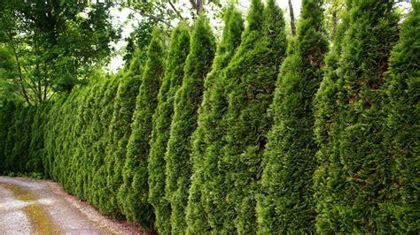 Die Hecke Natuerlicher Zaun Und Sichtschutz by Nat 252 Rlicher Sichtschutz Hecken Richtig Pflanzen Ndr De