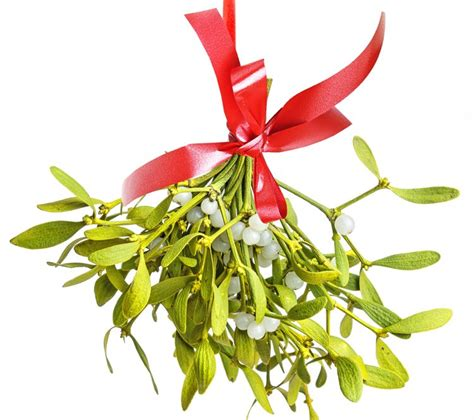 mistletoe is a tradition for what happens if you eat mistletoe love the garden