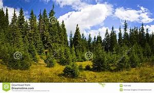 Pine forest landscape stock photo. Image of tourism, tree ...