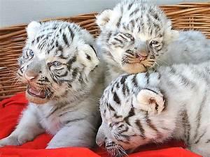 Weiße Kürbisse Kaufen : sensation wei e tiger drillinge in zoo geboren noe ~ Markanthonyermac.com Haus und Dekorationen