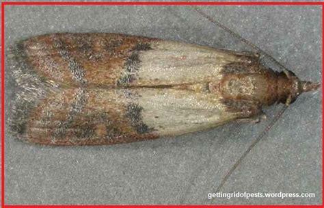 Moths In The Pantry Pantry Moth Eggs