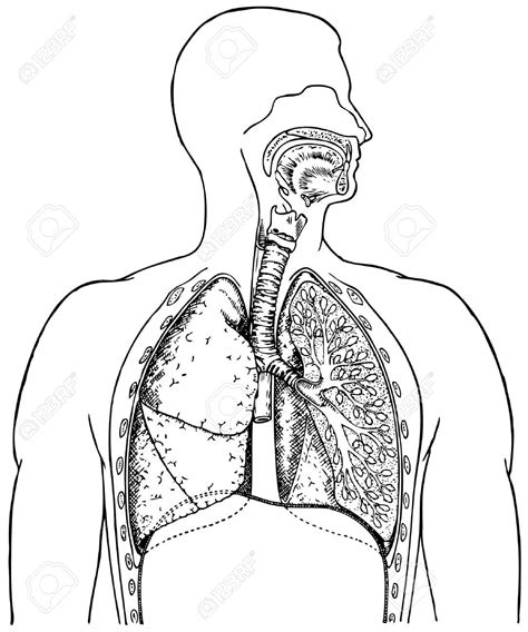 The Respiratory System Diagram Without Labels  Human Body Anatomy System